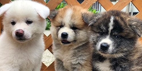 How can these adorable Akita Inu puppies not melt hearts?