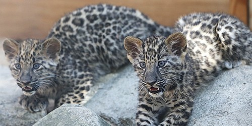Amur leopard triplets absorbed in playing, don't notice camera