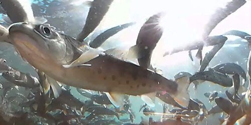Farmed trout swim past video camera in Akigawa Gorge