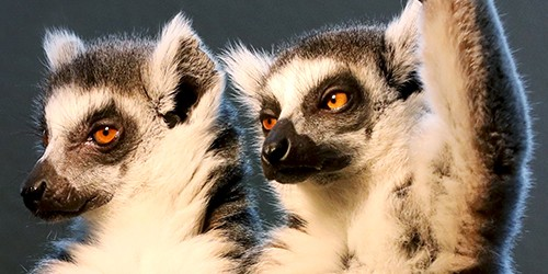 Ring-tailed lemurs satisfy curiosity when not sunbathing