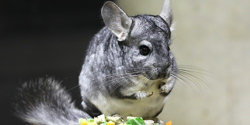 Fluffy chinchillas have mischievous side when seen in light of day