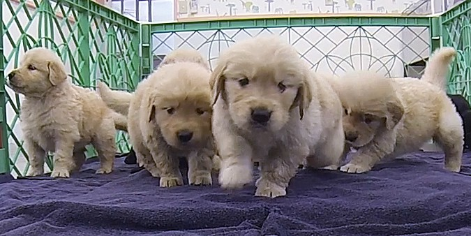 Playful retriever puppies dash around Tsukuba Wanwan Land