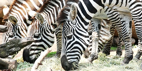 Don't let stripes fool you: Zebras can be timid and bad-tempered