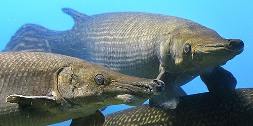 Get a really close look at alligator gars--through glass, of course
