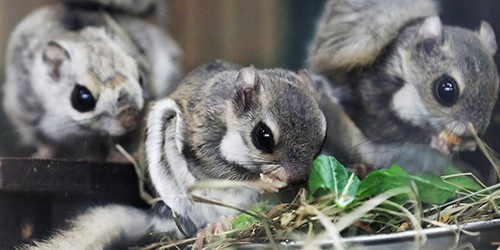 Don't blink, or you'll miss these stealthy Siberian flying squirrels