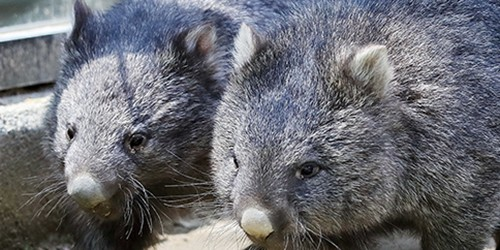Wombat couple make rare joint appearance after a long wait