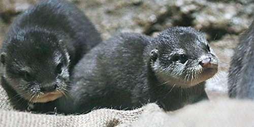 Quadruplet otters cause camera chaos at Tokiwa Zoo