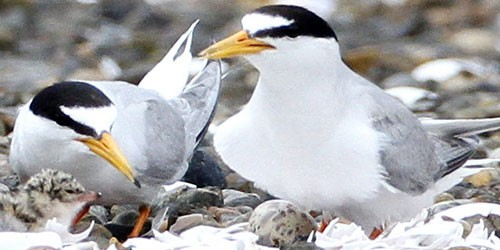 Little tern chicks struggle for survival in the middle of Tokyo