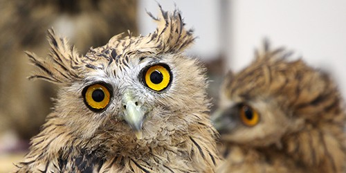 Hiratsuka owl cafe, where over a dozen species await you