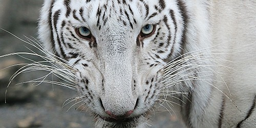 Symbols of good luck in the wild, white tigers the stars in captivity
