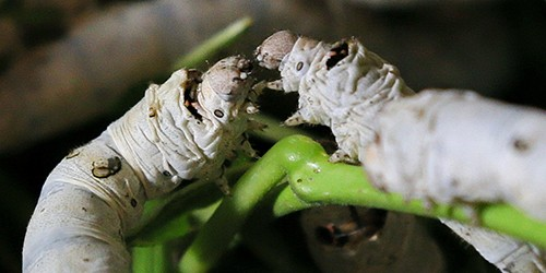 Tomioka Silk Mill displays 500 silkworms to honor the insect