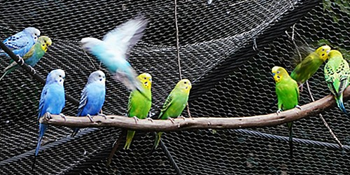 200 budgies living their lives in 'paradise' in Yokohama