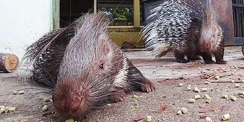 Adorable African porcupines can still deliver a world of hurt