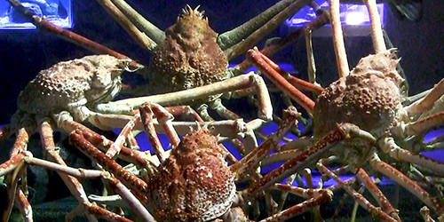 Japanese spider crabs loom over camera like alien in sci-fi movie