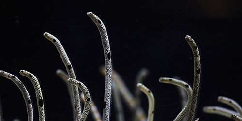 Eels dance away to mesmerize folks