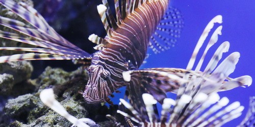 Red lionfish may be 'lady of the sea,' but its sting packs venom