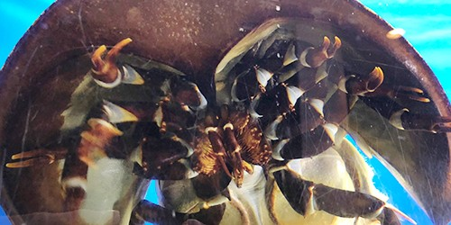 'Living fossil' horseshoe crab not really edible, but saves lives