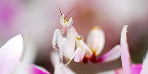 Is it a flower? No, orchid mantis is a hunter that just looks like one