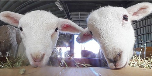 Lamb baby boom goes on at Mother Farm in Chiba Prefecture