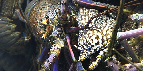 Spiny lobsters are in a class of their own at Toba Aquarium