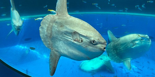 Sunfish lacks ribs, ventral fins like its relative, the pufferfish
