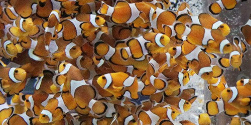 Chiba aquarium sends in the clownfish, all 800 of them