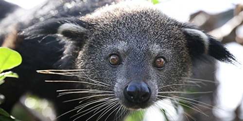 Meet binturong, who smells like popcorn and hangs from trees