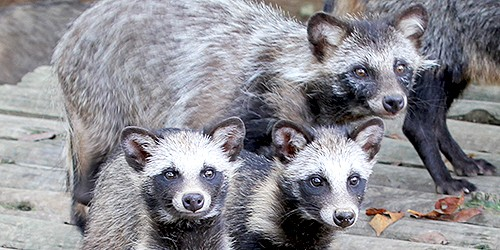 You're about to be devoured by a Japanese raccoon dog