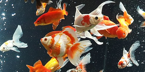 Go below with 500 goldfish in one of Japan's biggest fish tanks