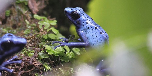 Poison dart frogs: Beautiful, yet deadly in nature