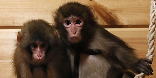 Showman sleeps with monkeys to gain their trust at Nikko park