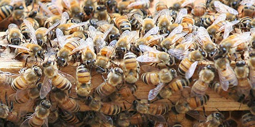 Ginza swarming with 100,000 honeybees on a nectar mission