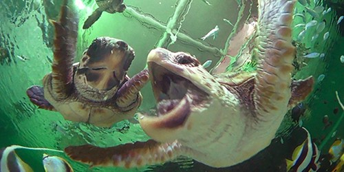 When juvenile loggerhead sea turtles are the stars of the show