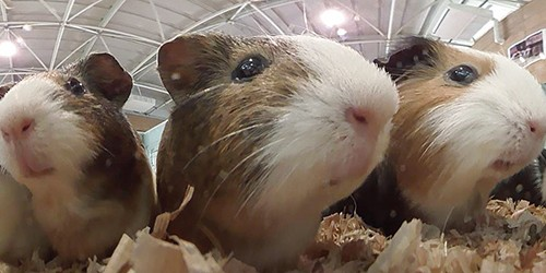 220 guinea pigs raise cute factor to another level at Tokyo zoo