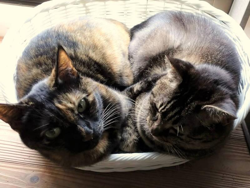 サビ猫「あんず」とキジ猫「モモ」