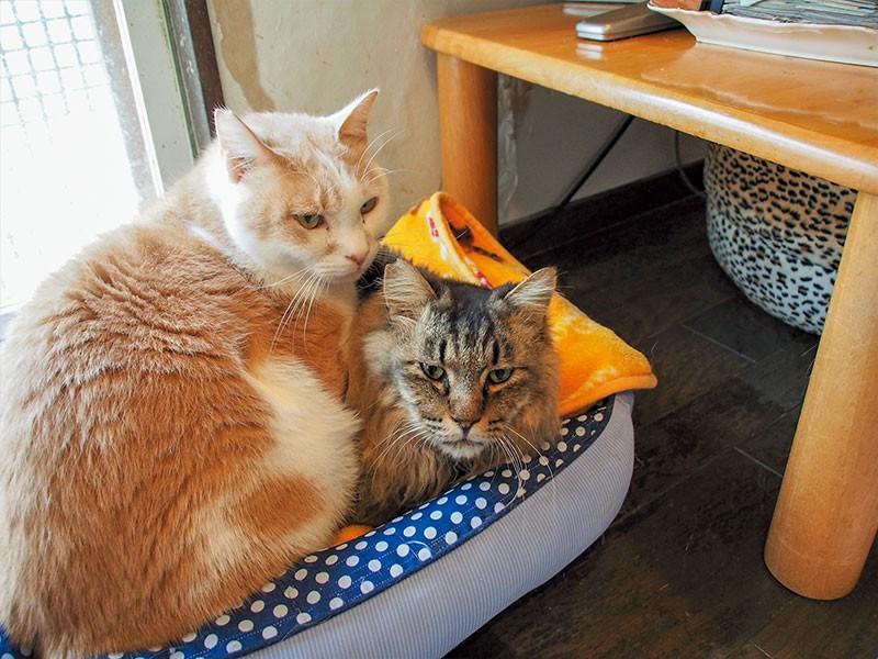 茶白猫ロビンくんとキジトラ猫クマ
