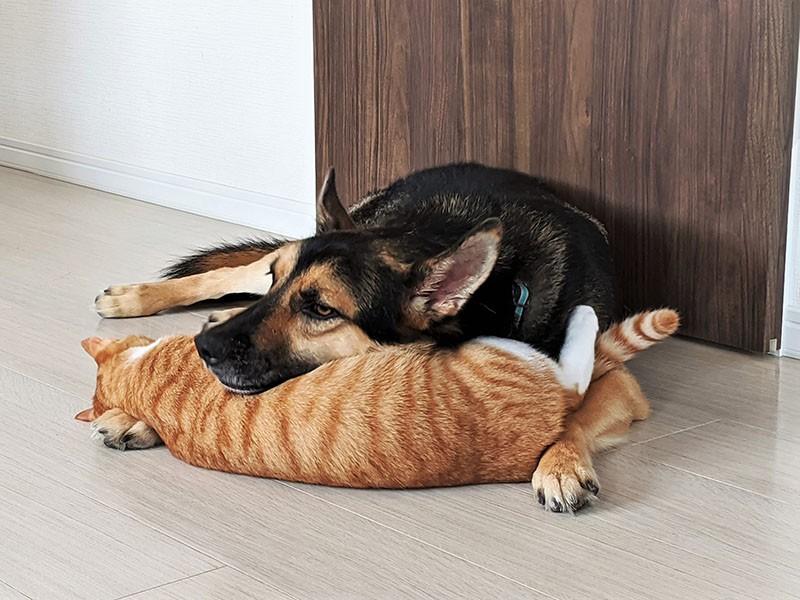 猫のおなかにあごを乗せる犬