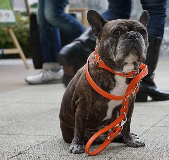 UG DOGS高橋店長の愛犬、フレンチブルドッグ「ボルドー」