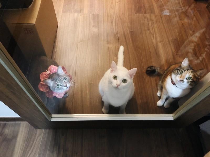 ガラス戸ごしに見つめる3匹の猫