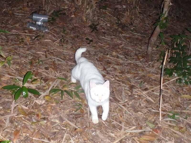 沖縄本島北部の森の中に設置した自動カメラに写ったネコ