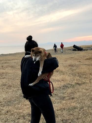 抱っこされる柴犬
