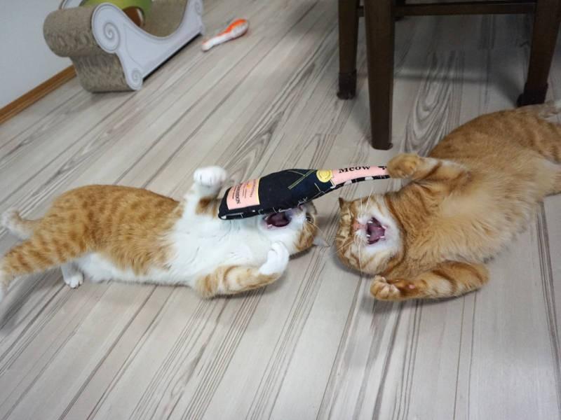 ボトル型おもちゃで遊ぶ茶白猫クウちゃんと茶トラ猫カイちゃん