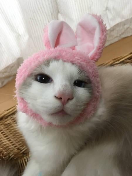 うさぎちゃんの着ぐるみをかぶる長毛猫「春来くん」
