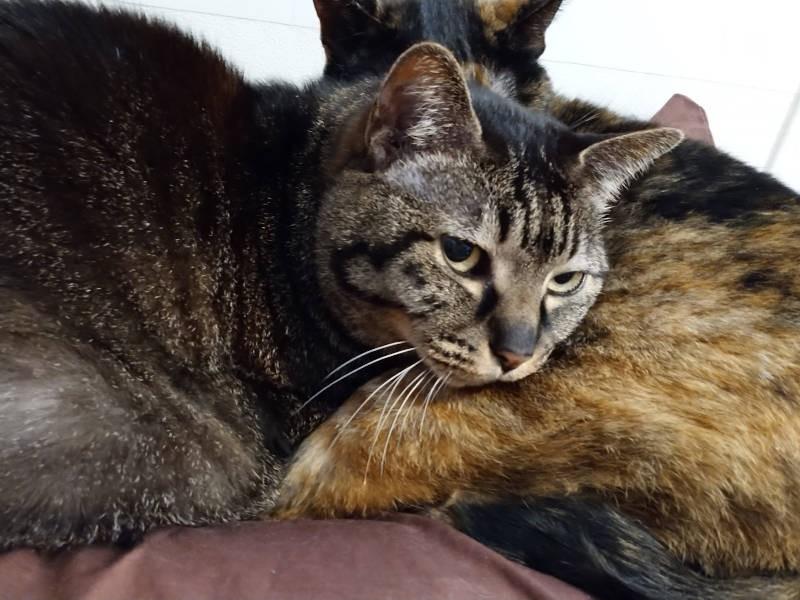 キジトラ猫「モモ」