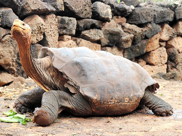 In an image provided by Galapagos National Park, Diego, a member of Chelonoidis hoodensis, or the giant tortoise species from Española Island in the Galápagos, Ecuador, who was one of 15 tortoises in a captive breeding program who displayed an exceptional sex drive, so much so, he's credited with helping save his species from extinction. In a statement on Jan. 12, 2020, the Galápagos National Park announced the end of the breeding program, saying an evaluation showed it had met its conservation goals. (Galapagos National Park Via The New York Times) -- NO SALES; FOR EDITORIAL USE ONLY WITH NYT STORY TORTOISE BREEDING BY AIMEE ORTIZ FOR JAN. 12, 2020. ALL OTHER USE PROHIBITED. --