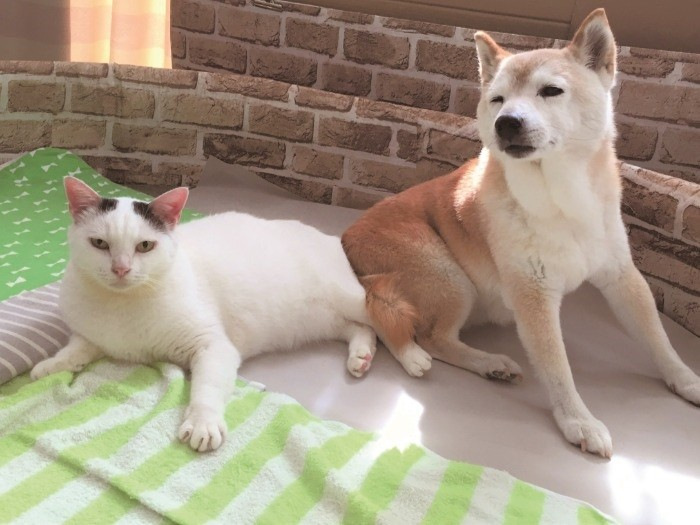 くぅ とし の 認知 症 の 犬 し の と 介護 猫 くぅ