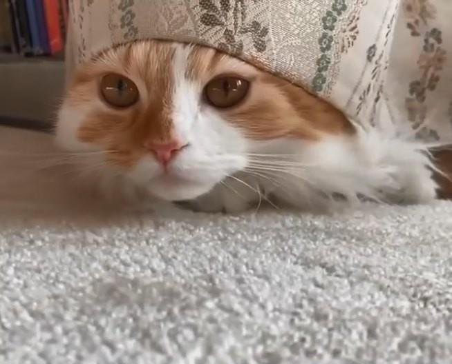 カーテンから顔を出す猫