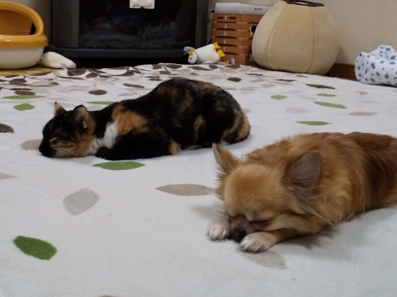 猫と寝そべるちわわ