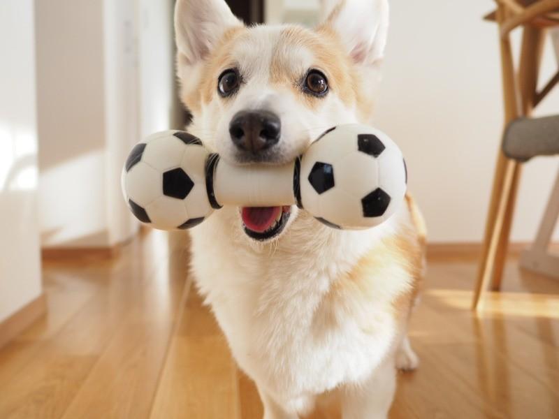 犬 さん コーギー ノエ