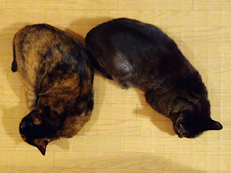 サビ猫「あんず」とキジトラ猫「モモ」